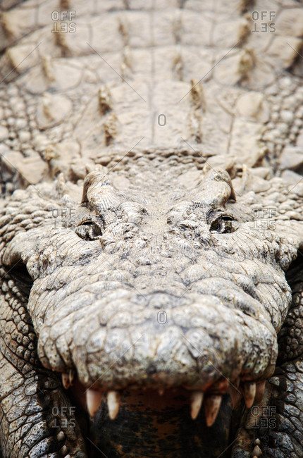 Nile crocodile (Crocodylus niloticus) cooling itself by drawing cool air into its body, Mpumulanga, South Africa