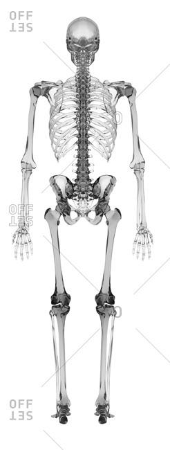 Human skeletal system - Offset Collection