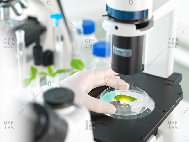 Scientist viewing plant leaf in a petri dish under a inverted microscope in a laboratory
