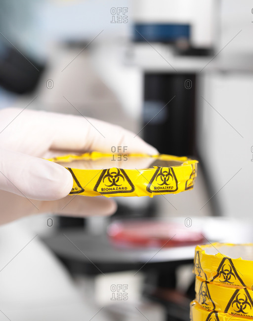 Scientist experimenting with cultures in petri dishes with biohazard warning in microbiology lab