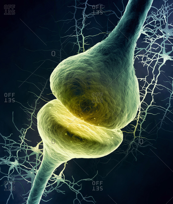 Synapse in the nervous system