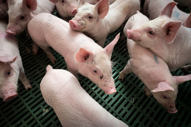 Piglets, high angle view