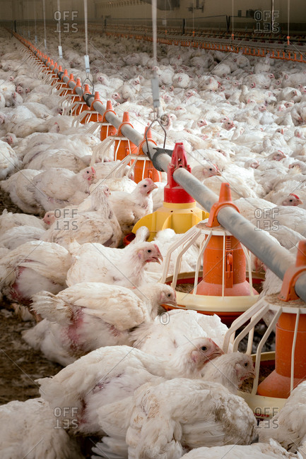 Hens feeding from plastic containers