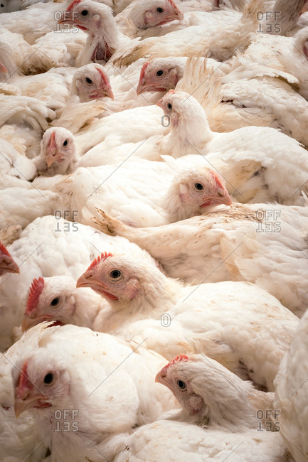 Large number of hens in a barn