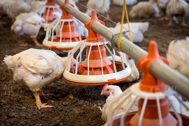 Hens feeding from a trough