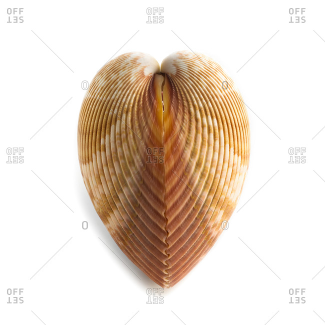 Heart cockle (Corculum cardissa) shell