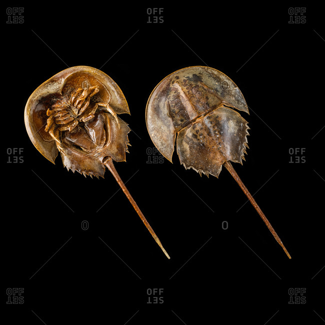 Two Atlantic horseshoe crabs (Limulus polyphemus)