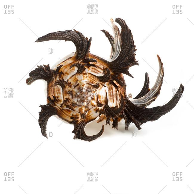 Longspine sea snail (Hexaplex cichoreum) shell