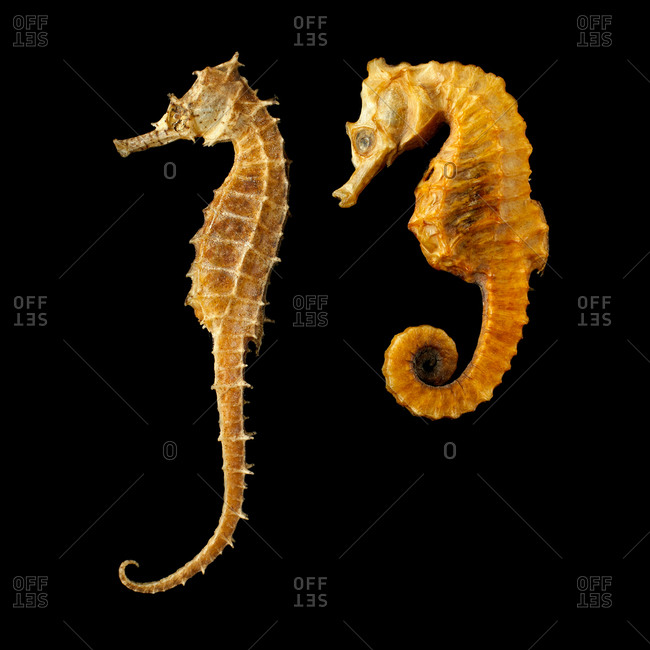 Two seahorses (Hippocampus sp) against a black background