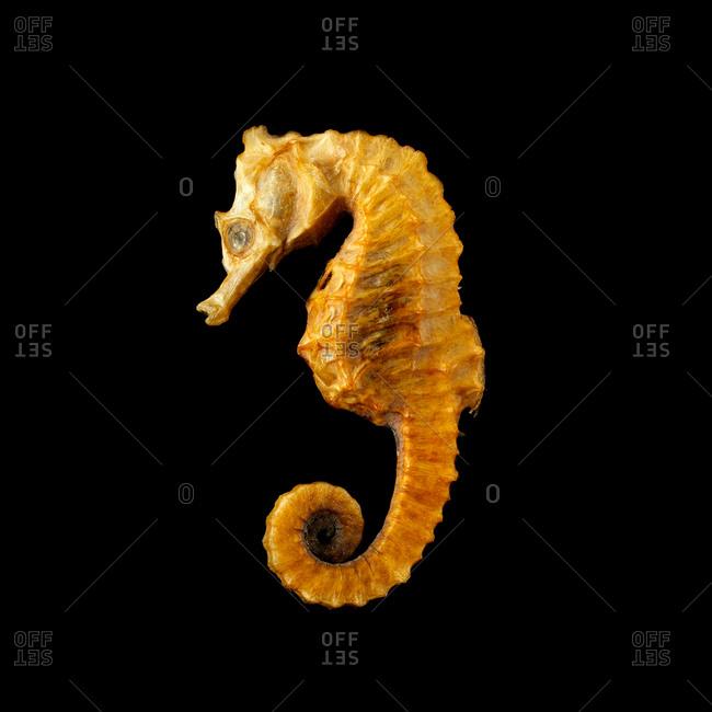 Seahorse (Hippocampus sp) against a black background