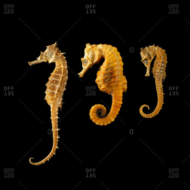 Three seahorses (Hippocampus sp) against a black background
