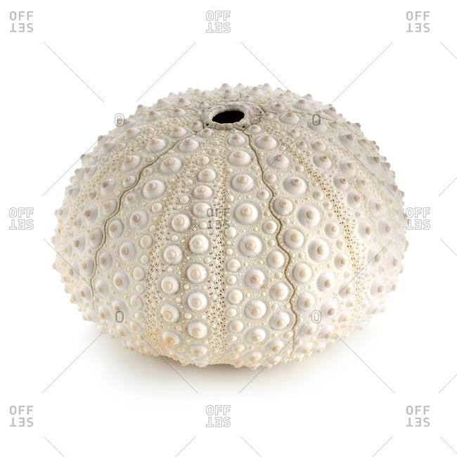 White sea urchin (Tripneustes depressus) shell