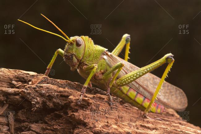 Giant grasshopper, close up