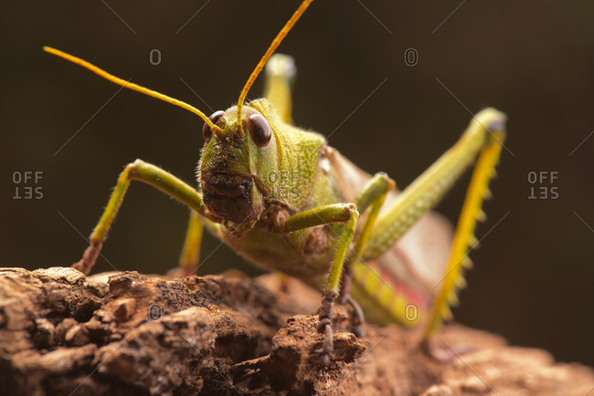 Giant grasshopper, close up