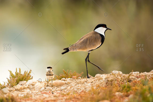 Spur-winged plover (or lapwing, Vanellus spinosus) with chick