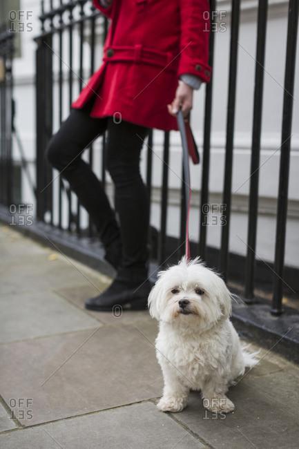 Leashed white dog sitting on pavement