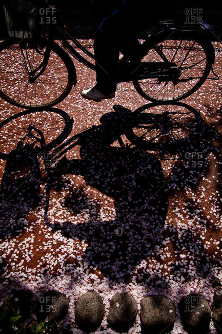 Shadow of a person riding a bicycle over fallen cherry blossom petals