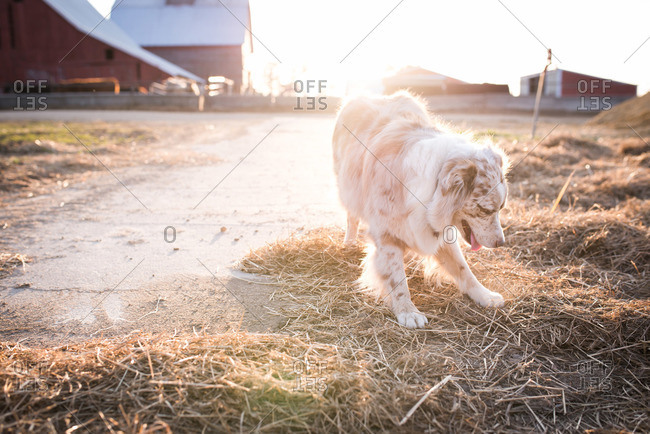Dog standing in hay on a farm