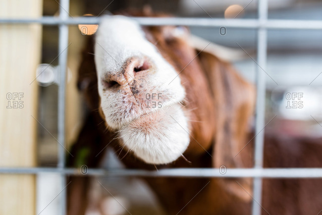 Goat poking its snout through metal fencing