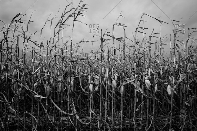 Harvested corn stalks on a cloudy day