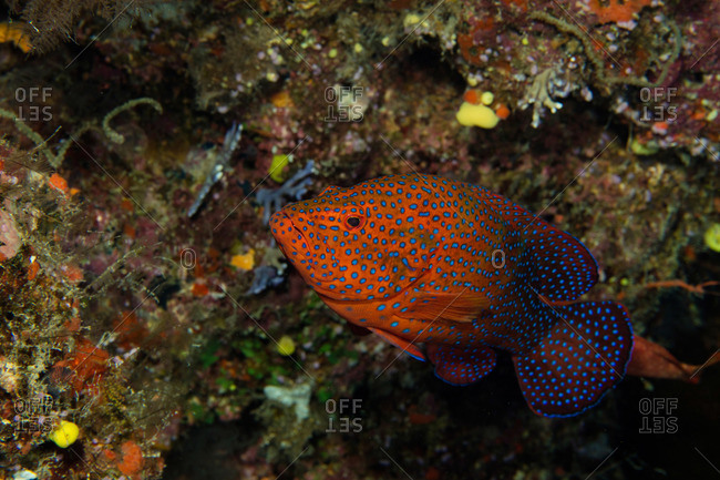 Colorful coral grouper - Offset Collection