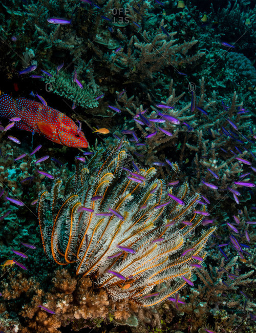 Colorful reef scene with Coral grouper, Fusiliers, and Crinoid