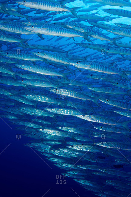 Large school of Chevron Barracuda