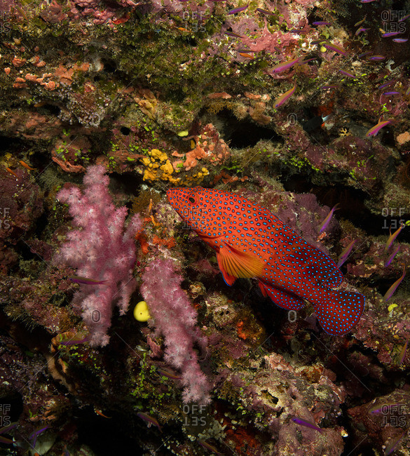 Colorful Coral grouper close up