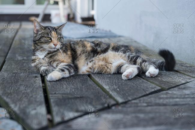 Tortoiseshell cat relaxing on floorboard,, Munich, Bavaria, Germany