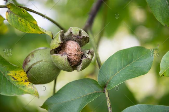 Close-up of walnuts (Juglans regia) in shell on tree, Munich, Bavaria, Germany