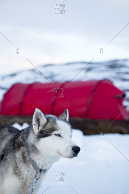 Draught dog, tent on background