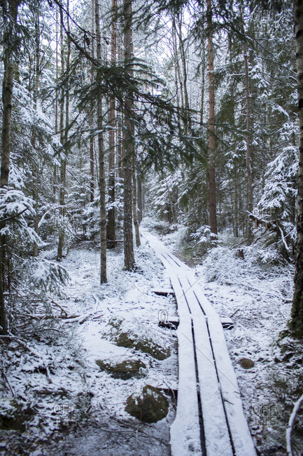 Pathway in winter coniferous forest