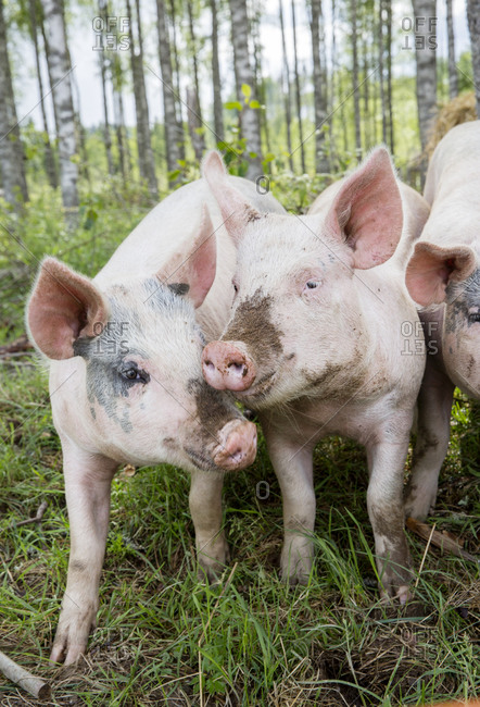 Portrait of dirty piglets