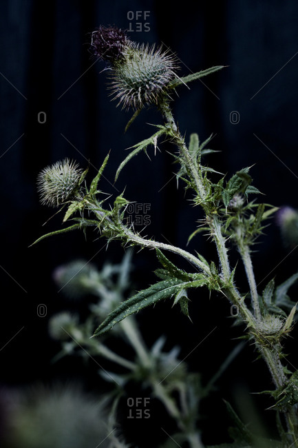 Close up of thistle - Offset