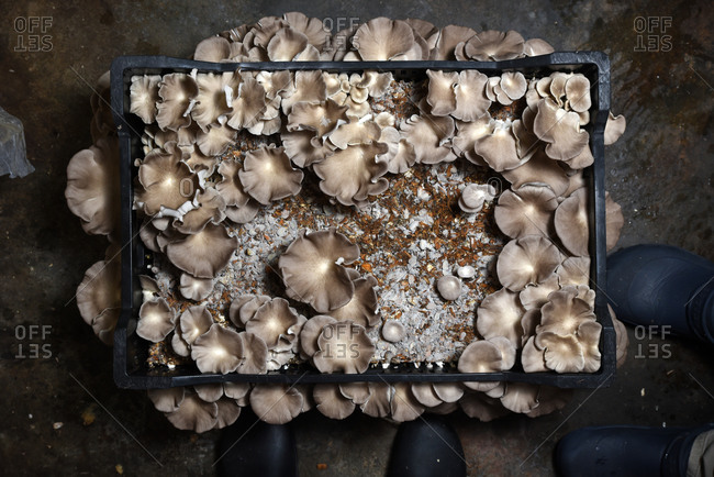 Overhead view of ruffled-edged mushrooms in crate