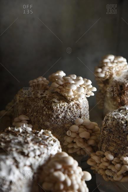 Tiny clusters of mushrooms growing from block at mushroom farm
