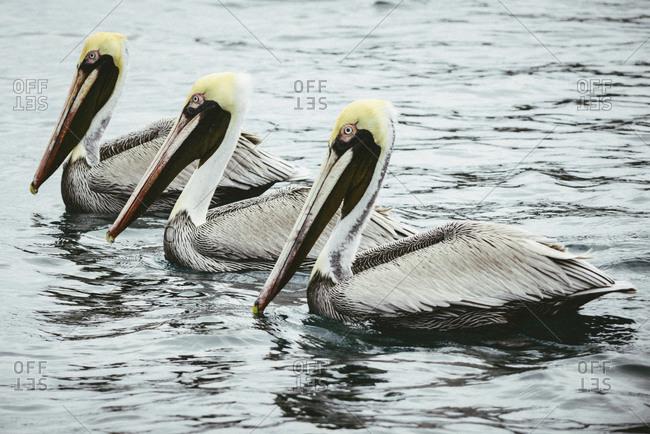 Pelicans swimming in Ecuador