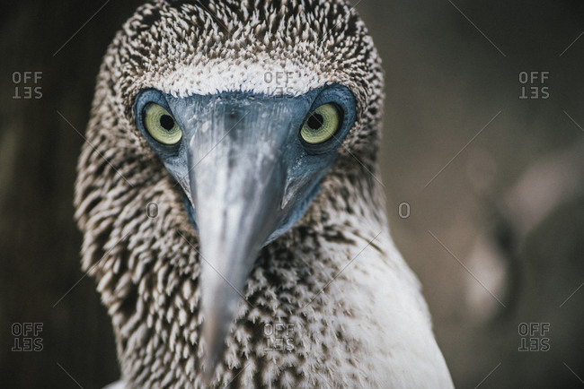 Blue footed booby face, Ecuador
