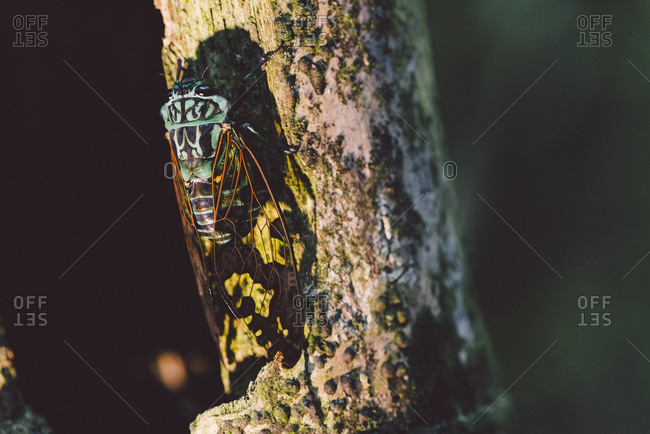 Winged insect on tree, Ecuador