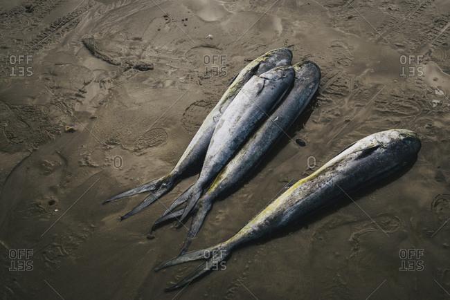Caught fish on the beach, Ecuador