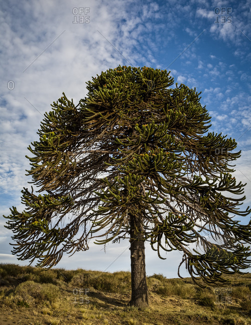 Araucaria tree in Lanin National Park in Patagonia Argentina