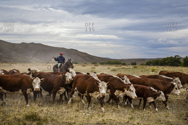 Patagonia, Argentina - February 24, 2012: Gauchos with cattle at the Huechahue Estancia, Patagonia, Argentina