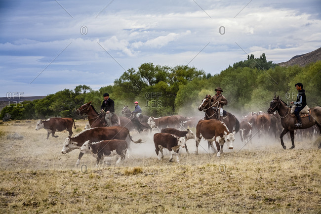 Patagonia, Argentina - February 24, 2012: Gauchos rounding up cattle at the Huechahue Estancia, Patagonia, Argentina