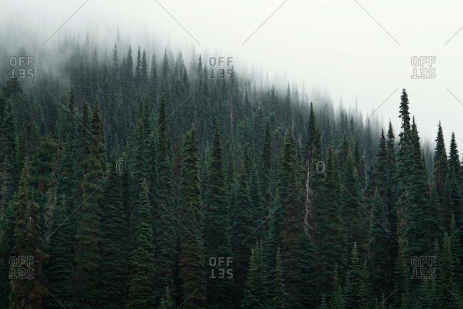 Mist over an evergreen forest