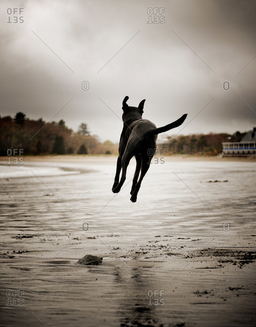 Dog leaping on the beach in Magnolia, Massachusetts