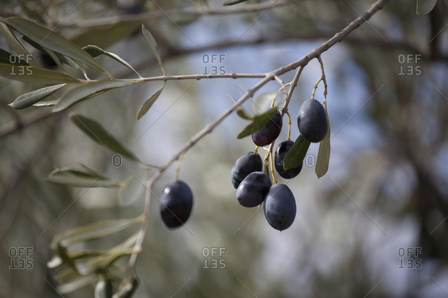 Black olives hanging on tree
