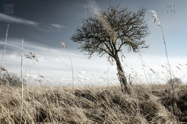 Tree on grassy field, Amrum