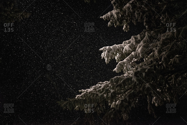 Pine branches in night snowfall