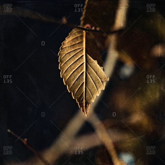 Brown leaf hanging from tree