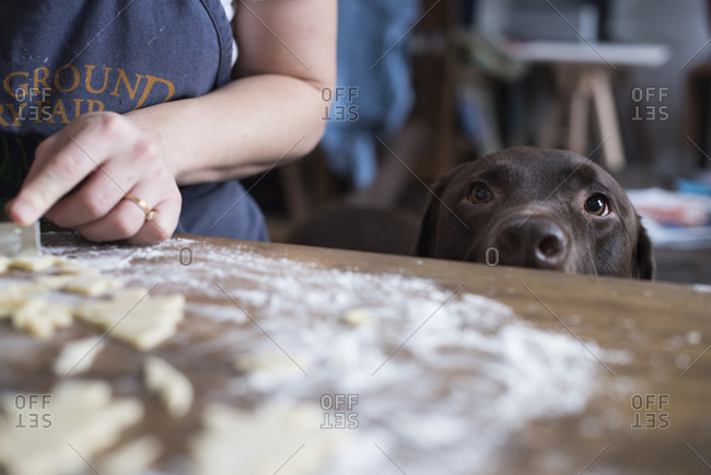 Dog watching Christmas cookies be made